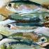 acr-whitefish-4