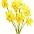 wcweb_abc_daffodil2