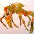 wcweb_green_and_orange_crab