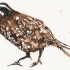 wcweb_walking_quail